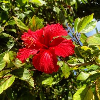 Hibiscus Seychelles