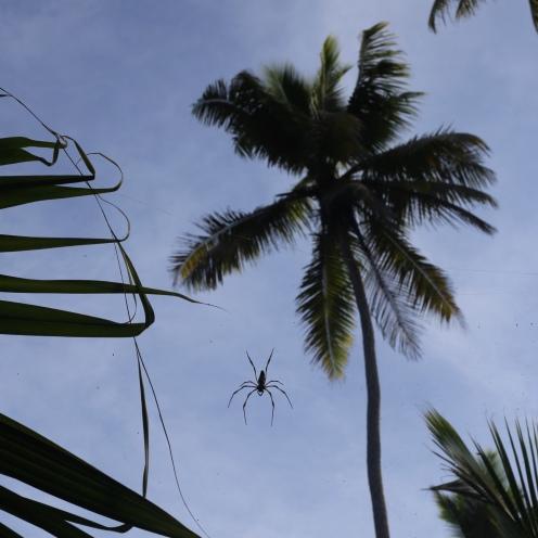 Les araignées seychelloises