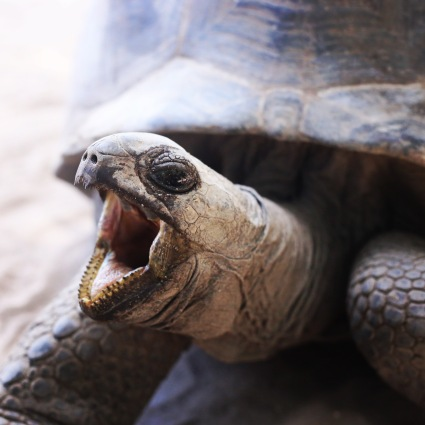 île Curieuse, tortue géante! Seychelles