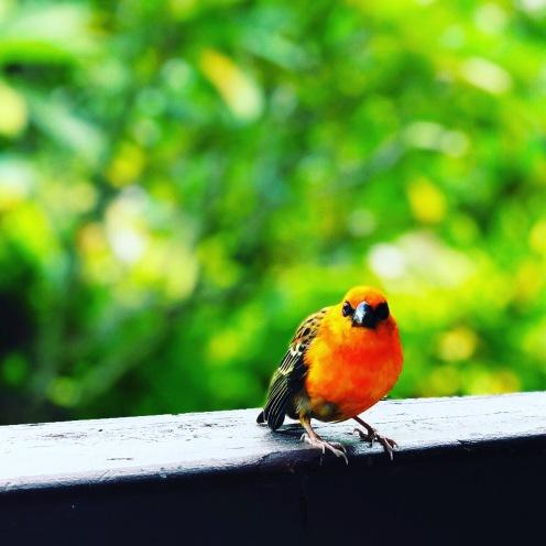 Cardinal rouge des Seychelles